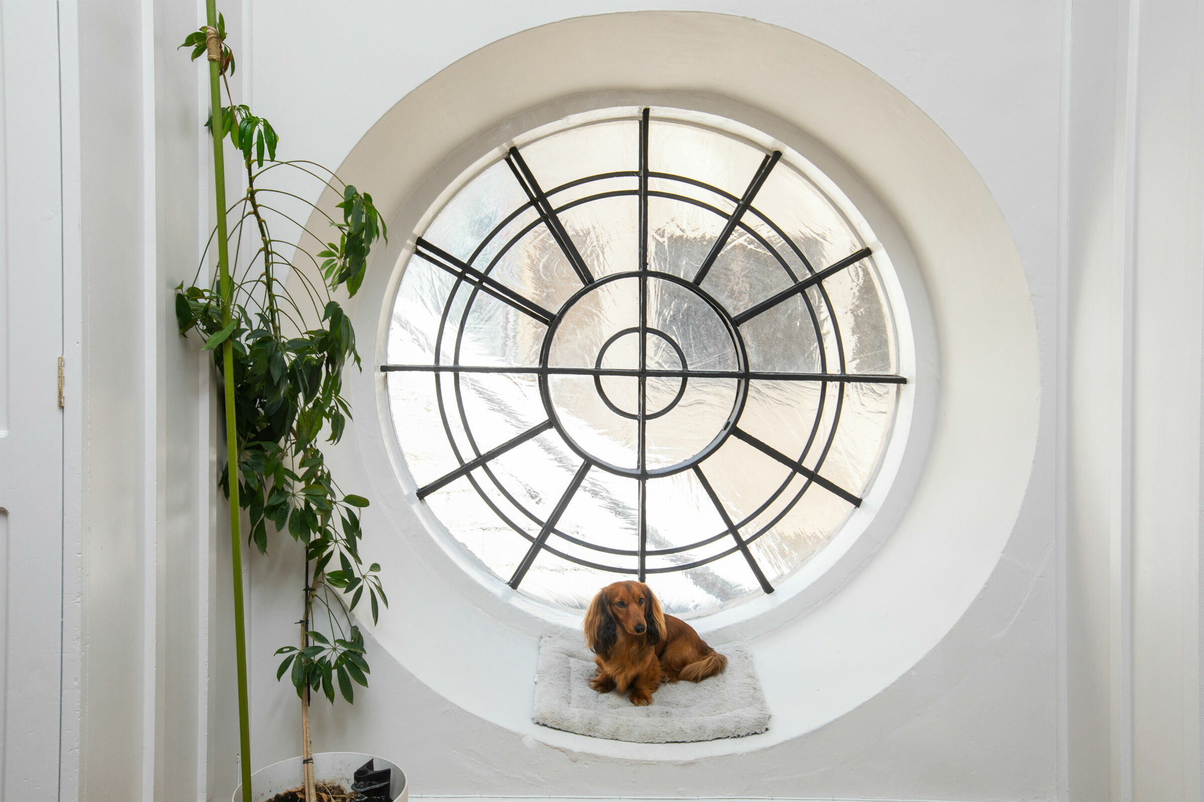 Long haired brown dauchund resting on a round window's sill